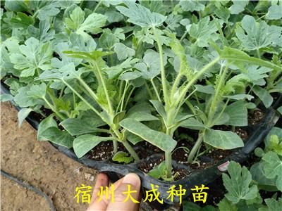 无籽西瓜苗移栽定植时应注意哪些问题