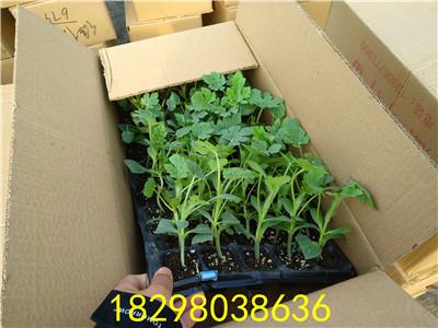 无籽西瓜苗栽培时肥水如何管理
